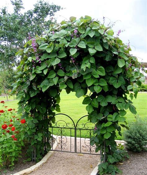 PlantFiles Pictures: Hyacinth Bean (Lablab purpureus) by