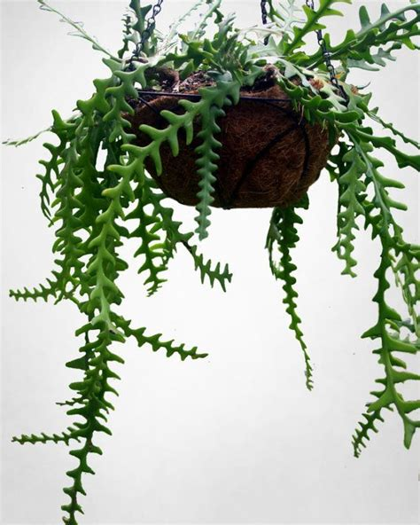 draping plants 1000 best fern images on pinterest ferns fern plant and