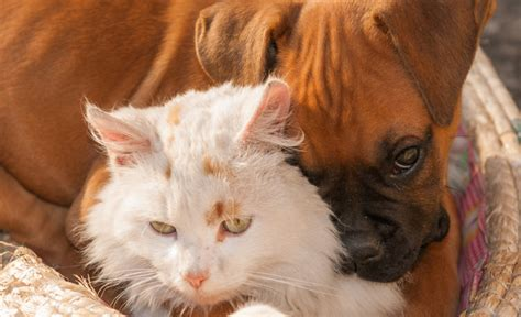 cat friendly dogs the 10 most cat friendly breeds iheartdogs