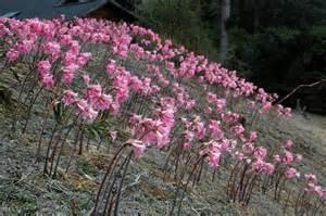 Lily Flowers Meaning - plant world amaryllis belladonna