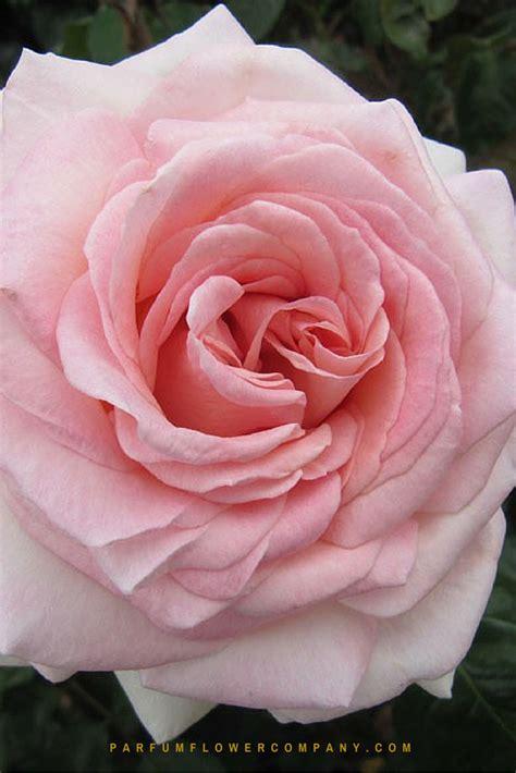 rose prince jardinier