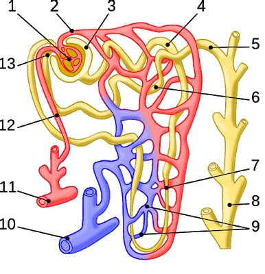 Dasar Dasar Fisiologi Ginjal nefron ginjal artikel lengkap referensi ku