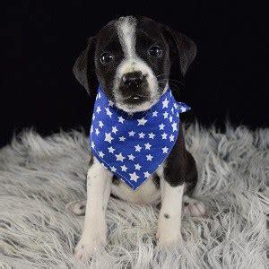 bojack puppies bojack puppy for sale popeye puppies for sale in pa md ri de