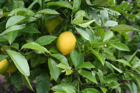 come potare il limone in vaso quando potare il limone potatura potatura limoni