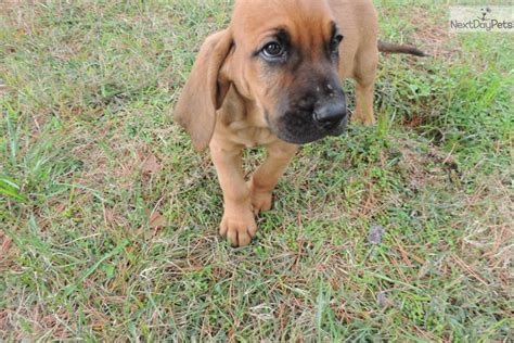 bloodhound puppies near me bloodhound puppy for sale near fort smith arkansas 4c78dc58 5a01
