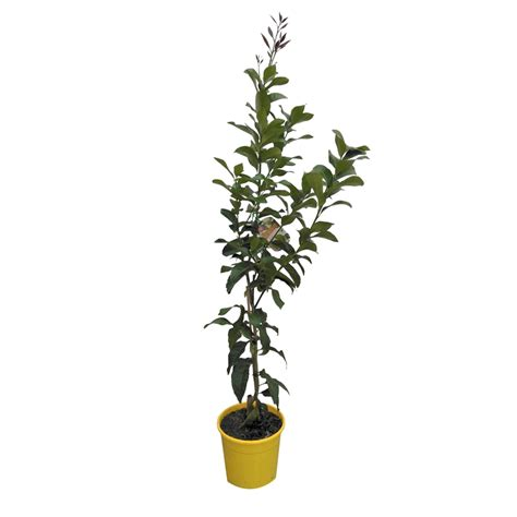 200mm assorted citrus trees bunnings warehouse
