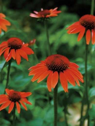 50 best images about garden asteraceae cone flower