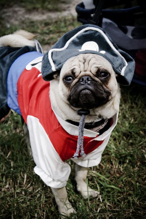 pug in pug costumes breeds picture