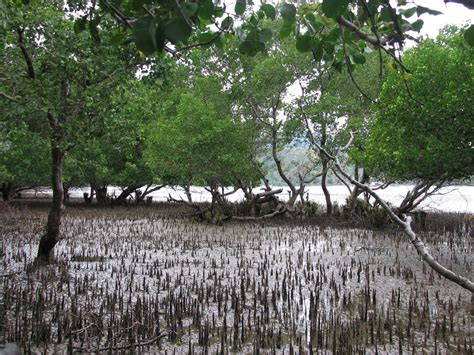 Free Extensive Search File Pneumatophore Aerial Roots In Mangrove And Mudflats At Tibar And