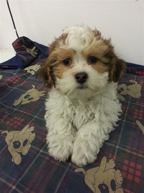 shichon puppies shichon puppies for sale chinnor oxfordshire pets4homes