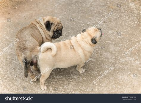 pug mating lovely pug pug in mating season stock photo 554842522