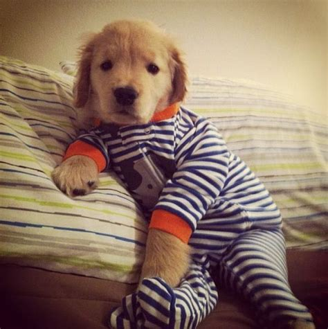 golden retriever pajamas 17 best images about photo s for bark woof woof on border