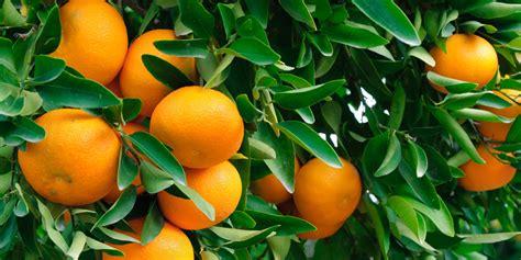 fruit trees for sale fruit trees for sale fast growing trees