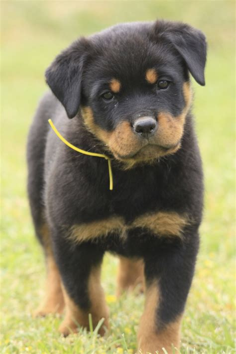 rottweiler bullmastiff rottweiler bullmastiff mix puppies www imgkid the image kid has it