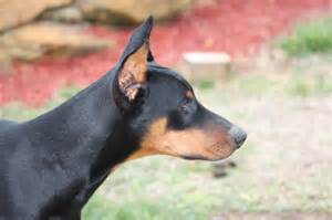 doberman pinscher pitbull mix related keywords doberman