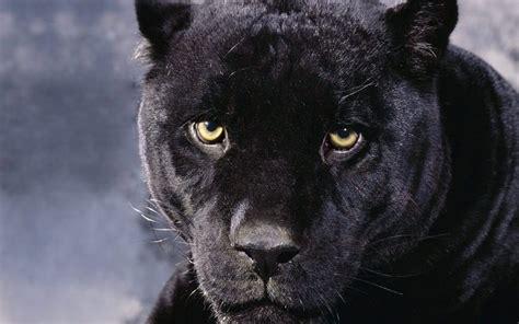black panther animal desktop wallpaper funny animal picture beautiful animals black panther hd