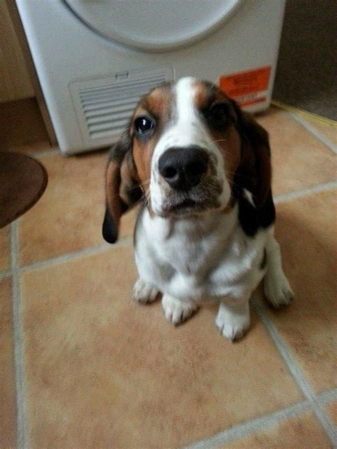 basset hound mix puppies for sale beagle basset hound mix puppies for sale www imgkid the image kid has it