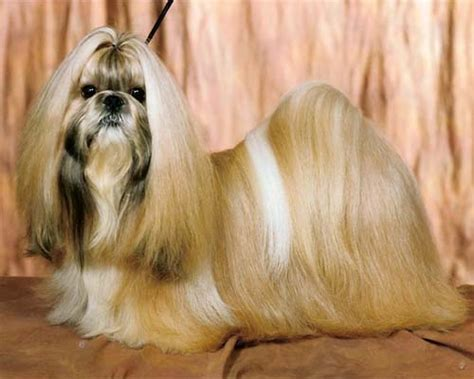 shih tzu rescue ta different types of shih tzu assistedlivingcares