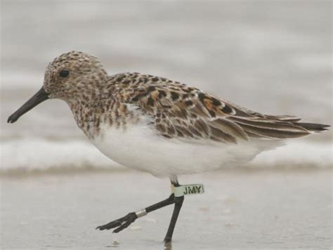 key species shorebird project conserve wildlife