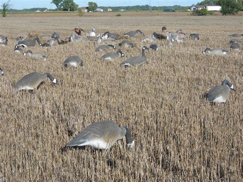 layout goose hunting strategies for success in michigan s early goose season