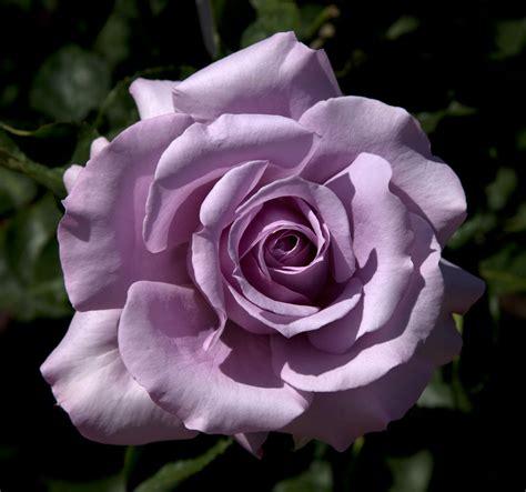 floribunda roses fliskr 3d images floribunda song don flickr