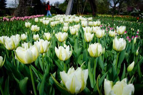 Britzer Garten Tulpen 2018 by Tulipan Tulpenfestival In De Britzer Garten