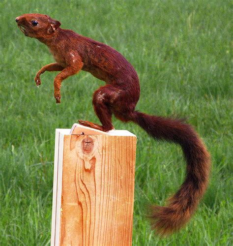 redness in s southern squirrel