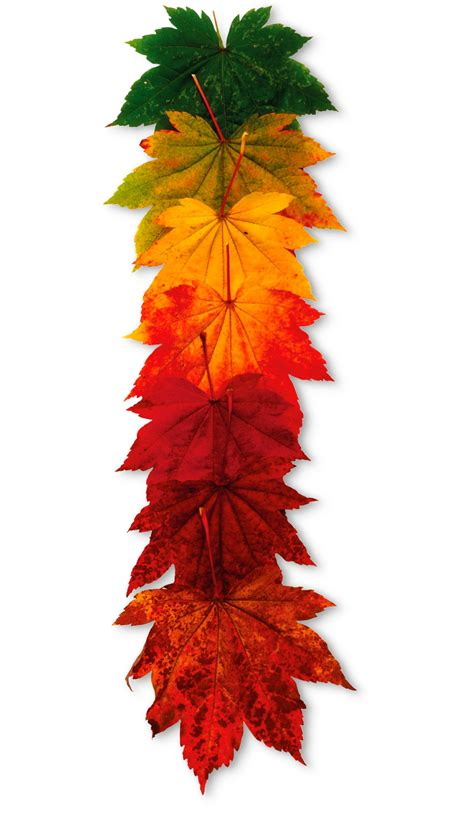 why do leaves change color seasonal plants dk find out