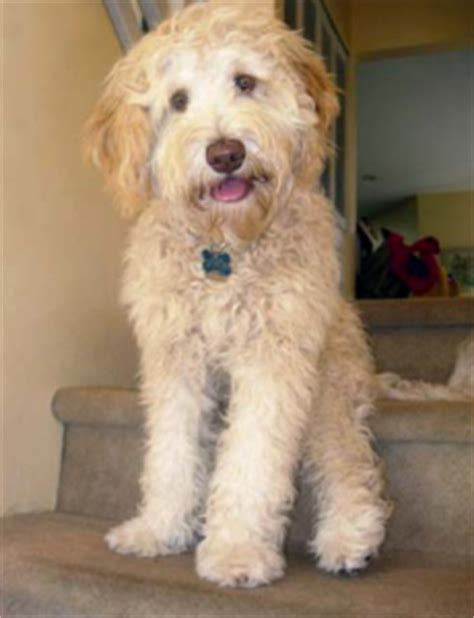 labradoodles puppies for sale sydney australian labradoodle puppies for sale copper