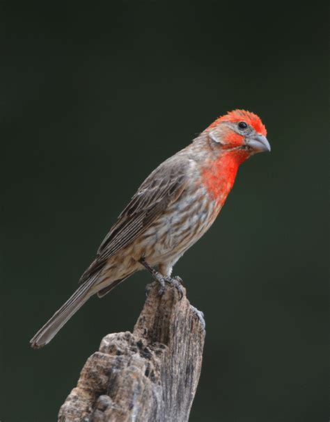 house finch arizona bobby harrison bird photography september 2010