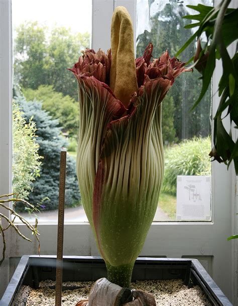 Rare Corpse Flower Readies To Bloom In Washington Dc Us Botanic Garden Corpse Flower