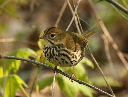 ovenbird identification all about birds cornell lab of
