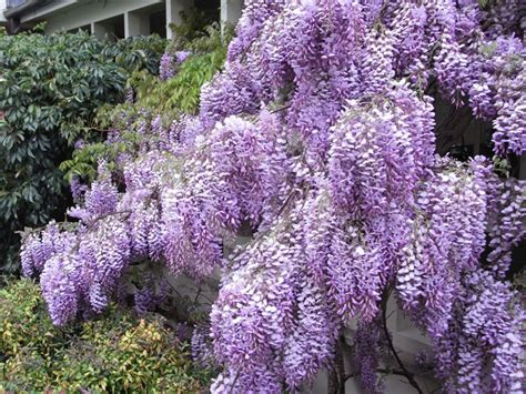 Wisteria sinensis   Chinese Wisteria information & photos