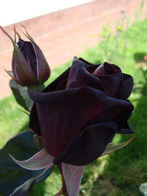 fotos de tremendas pijas negras imagenes de rosas negras y de color n 186 17