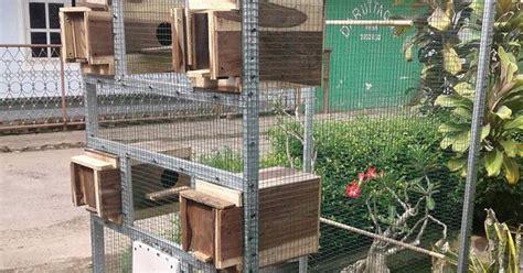 desain gambar lovebird bentuk kandang koloni lovebird yang baik