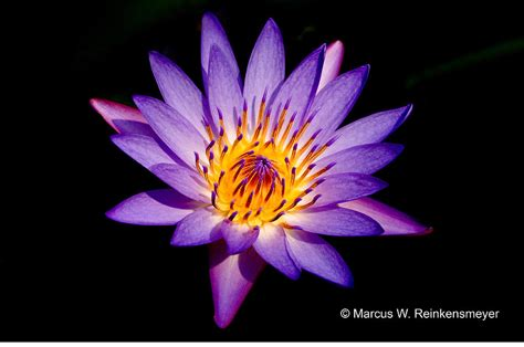 purple lotus image gallery purple lotus
