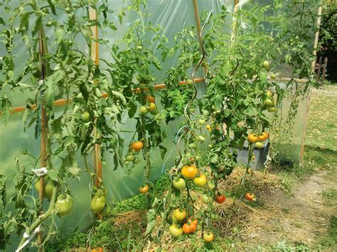 culture des tomates en serre