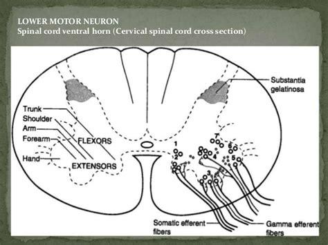 als motor neuron motor neuron diseases