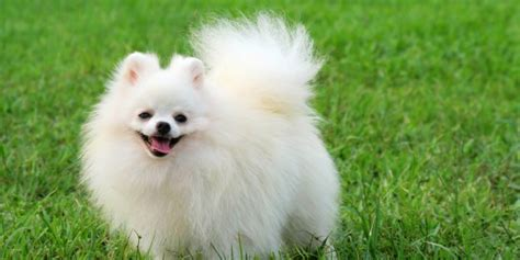 pomeranian chihuahua mix personality pomeranian mix the and the even cutter series pomeranian experts
