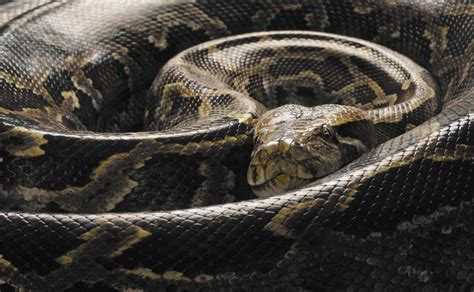 7 Techniques On Caring For A Python by How To Take Care Of Burmese Pythons As Pets