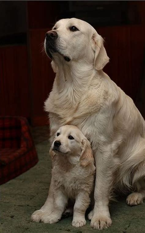 golden retriever protects baby and baby thats so its like and dogs are the most cutest thing