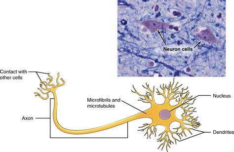nervous tissue labeled diagram nervous tissue mediates perception and response anatomy