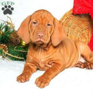 vizsla puppies for sale in pa trey