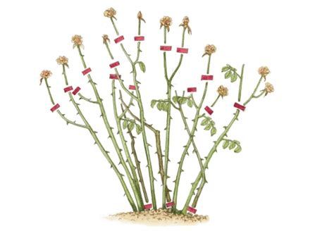 Wie Pflanze Ich 4365 wie pflanze ich wie erkenne ich schmarotzertriebe
