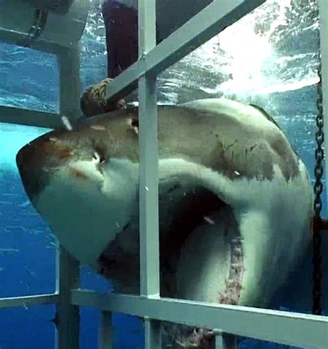 cage dive with sharks great white shark cage diving cape to grape wine tours