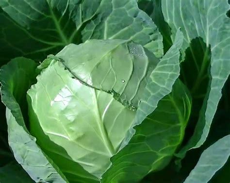 menanam  budidaya kubiskol pertanian