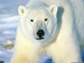 oso polar osos y sus clases