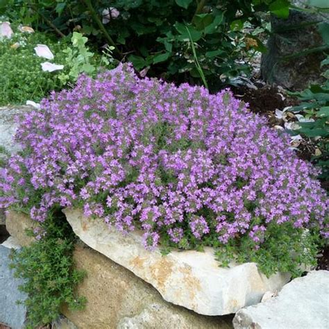 Bibit Benih Seeds Creeping Thyme For Ground Cover creeping thyme seeds