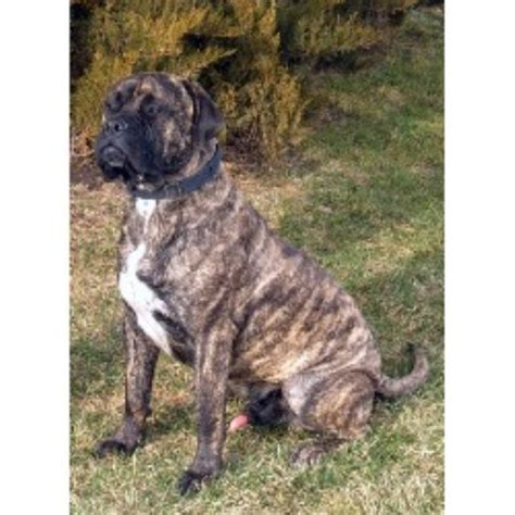 bullmastiff puppies for sale in va maple ridge bullmastiffs bullmastiff breeder in providence utah listing id 14179