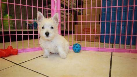 westie puppies for sale in ga westie puppies for sale in atlanta at puppies for sale local breeders